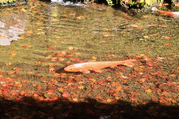 kyoto-autumn-010