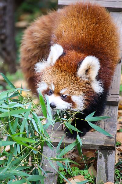 lesser-panda1-003