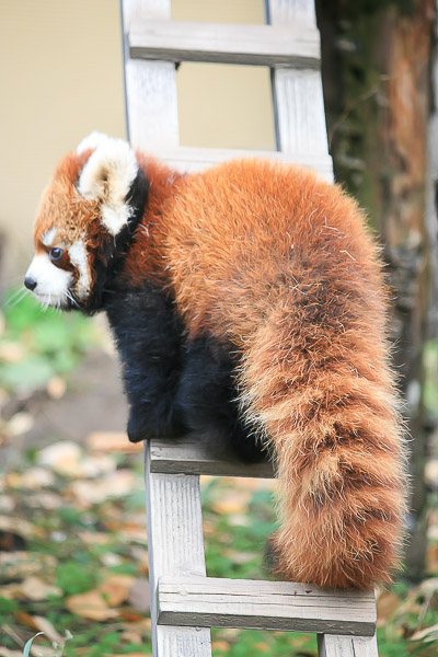 lesser-panda1-004
