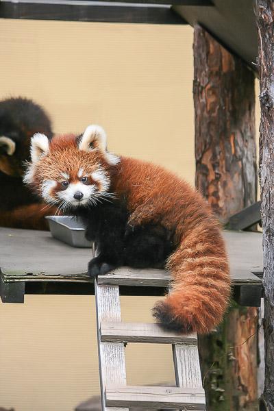 lesser-panda1-005