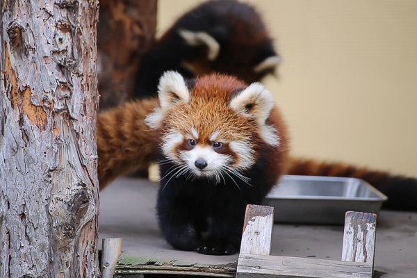lesser-panda1-006