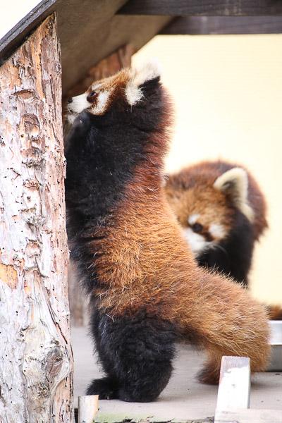 lesser-panda1-008