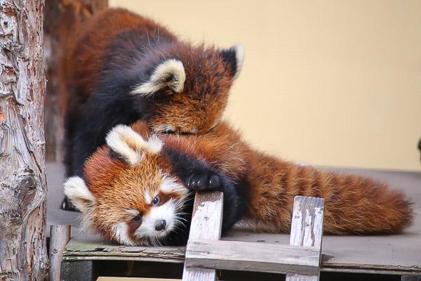 lesser-panda1-009