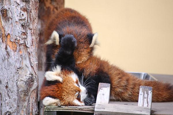 lesser-panda1-010