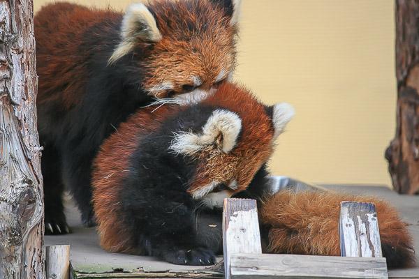 lesser-panda1-011