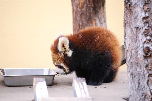 lesser-panda1-013