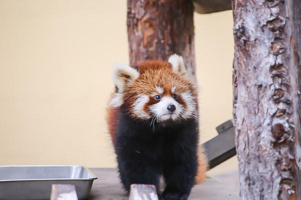 lesser-panda1-014