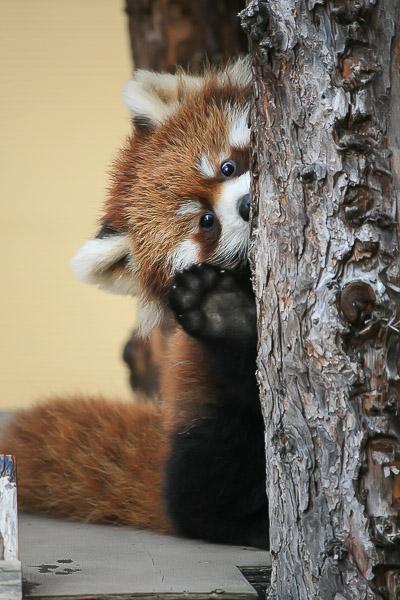 lesser-panda1-015