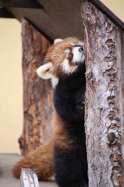 lesser-panda1-016