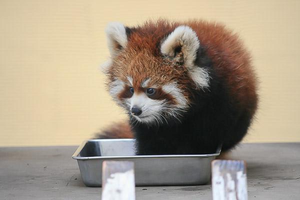 lesser-panda1-017