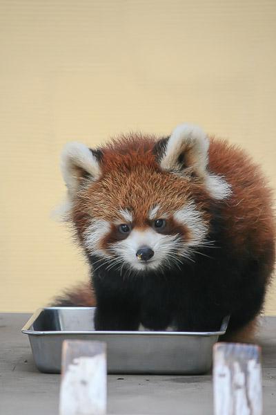 lesser-panda1-018