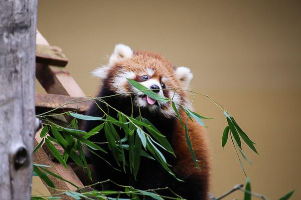 lesser-panda1-022