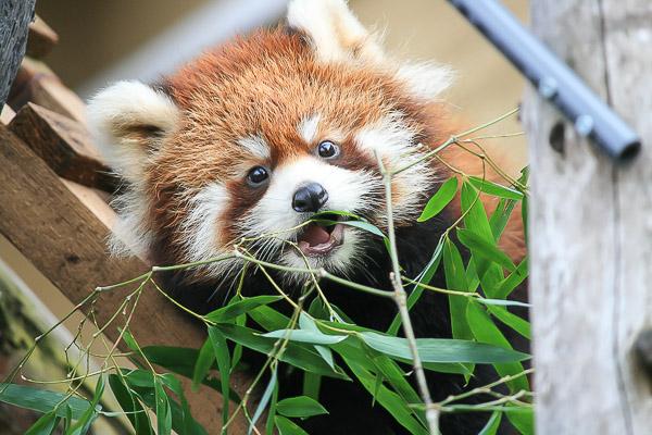 lesser-panda1-023