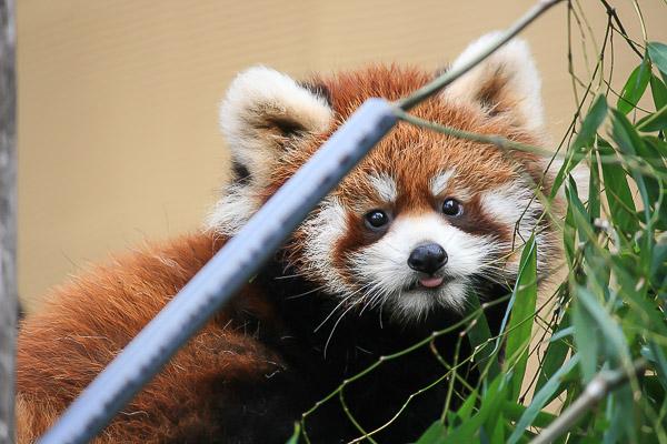 lesser-panda1-024