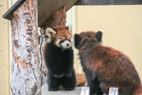 lesser-panda1-025