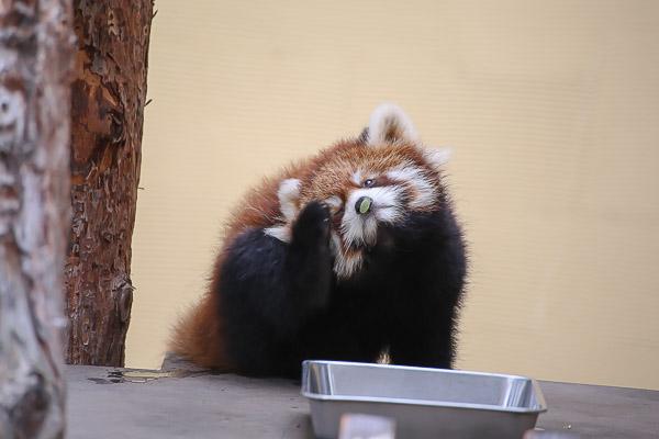lesser-panda1-026