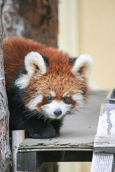 lesser-panda1-027