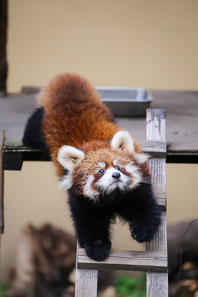 lesser-panda1-028