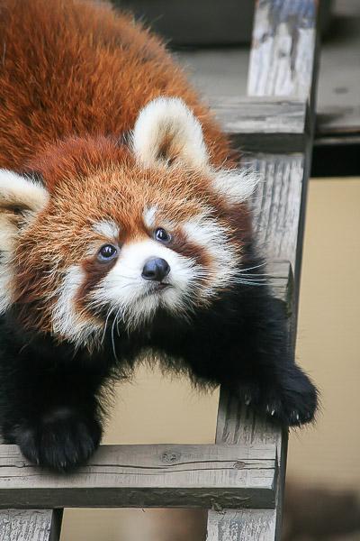 lesser-panda1-029