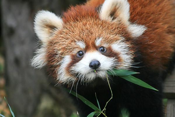 lesser-panda1-030