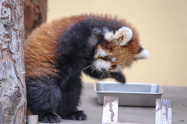 lesser-panda1-032