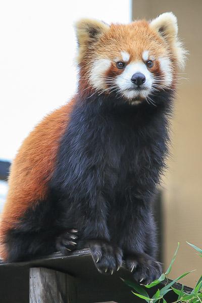 lesser-panda1-033