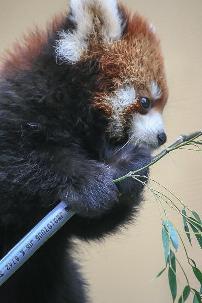 lesser-panda1-034