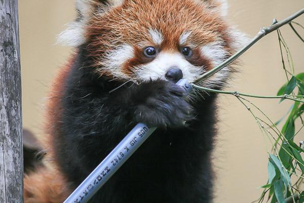 lesser-panda1-035