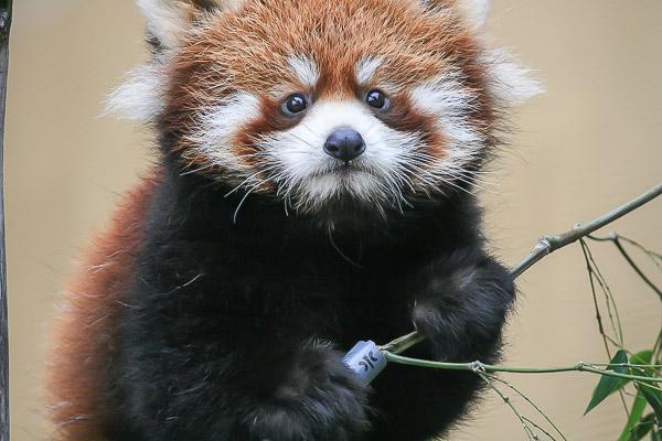 lesser-panda1-036