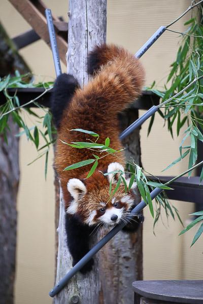 lesser-panda1-038