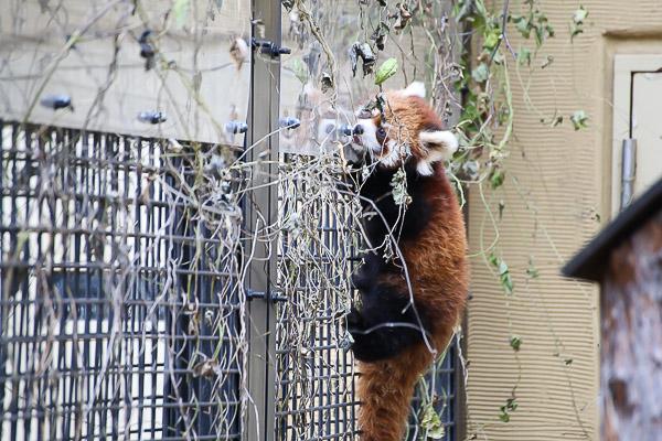 lesser-panda1-039