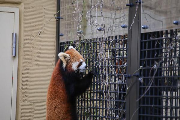 lesser-panda1-040