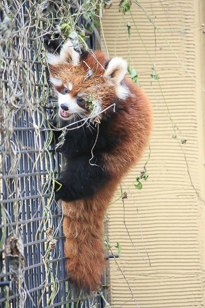 lesser-panda1-041