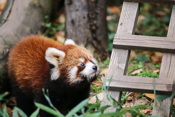 lesser-panda1-042