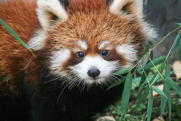 lesser-panda1-043
