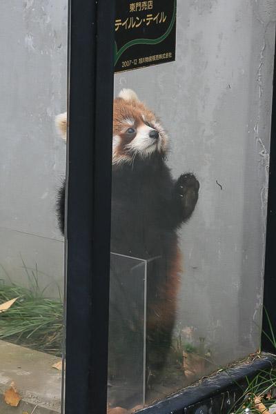lesser-panda1-044