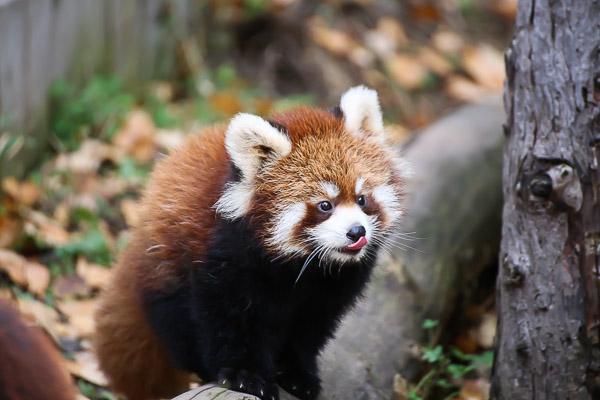 lesser-panda1-045