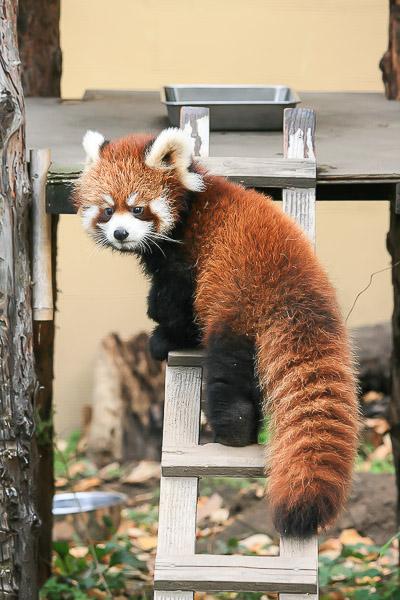 lesser-panda1-047