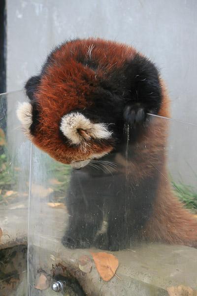 lesser-panda1-048