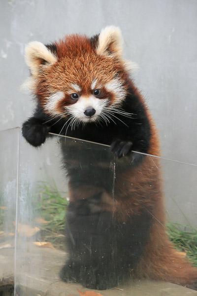 lesser-panda1-049