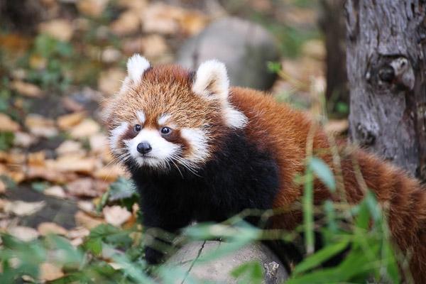 lesser-panda1-050