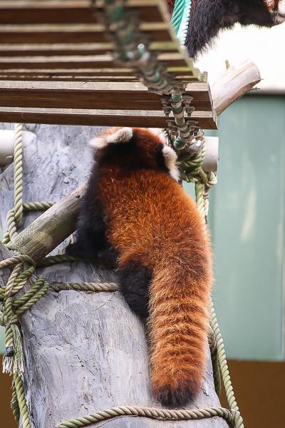 lesser-panda1-051