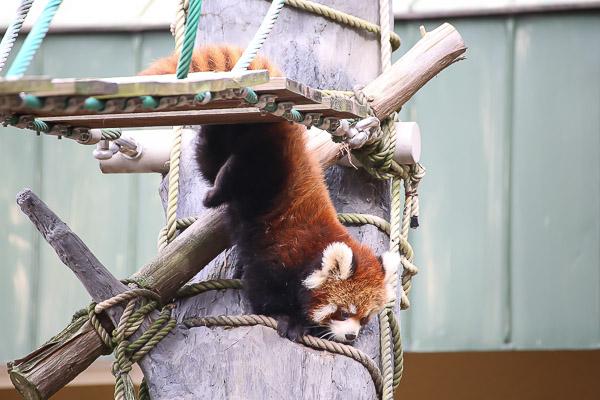 lesser-panda1-053