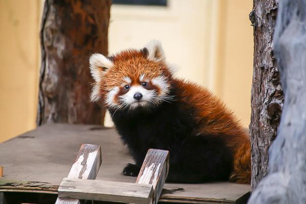 lesser-panda1-054