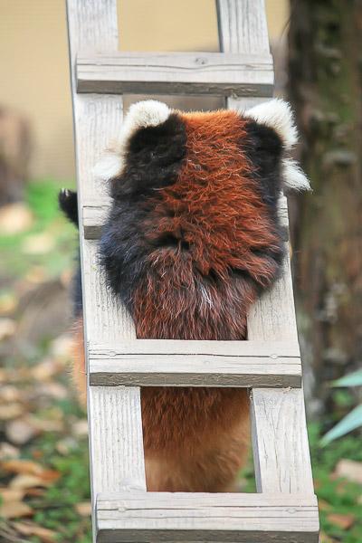 lesser-panda1-056