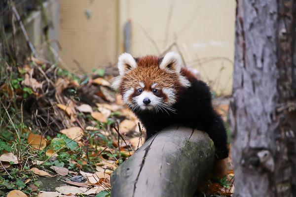 lesser-panda1-057