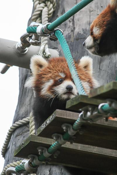 lesser-panda1-058