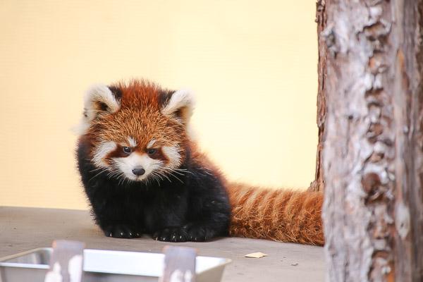 lesser-panda1-060