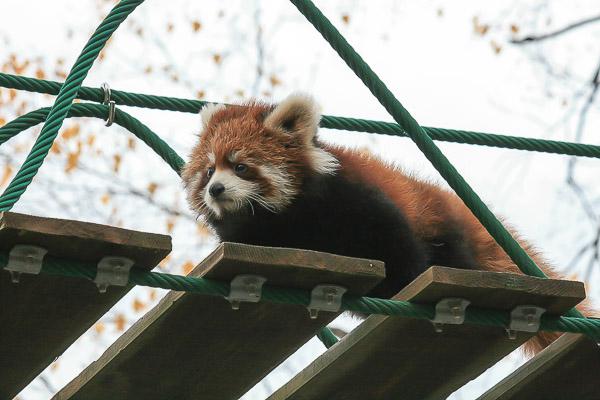 lesser-panda1-061