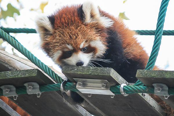 lesser-panda1-062